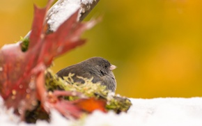 Картинка осень, лист, птица, серый юнко