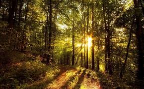 Картинка Солнце, Природа, Деревья, Лес, Листья, Ветки, Солнечные Лучи, Лесная Дорога