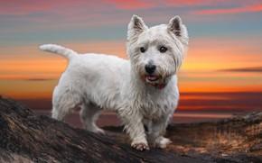 Картинка закат, собака, Вест хайленд вайт терьер