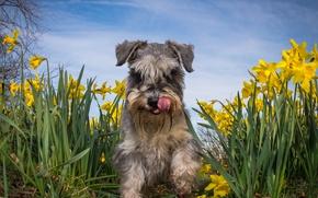 Картинка лето, цветы, собака, нарциссы, Цвергшнауцер