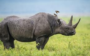 Картинка птицы, Африка, носорог