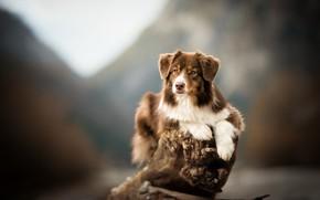 Обои фон, собака, коряга, боке, Австралийская овчарка, Аусси