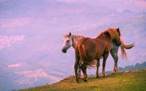 Картинка свет, горы, туман, обрыв, настроение, рассвет, две, высота, кони, утро, лошади, пара, лошадки
