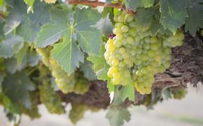Картинка листья, природа, виноград, гроздь, виноградник, кустарник