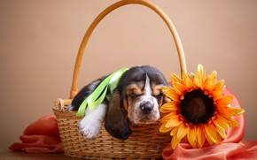 Картинка цветы, щенок, корзина, подсолнух