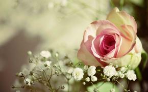 Картинка роза, бутон, боке, гипсофила
