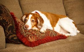 Картинка диван, подушки, лежит, отдыхает, Спаниель, Brittany Spaniel