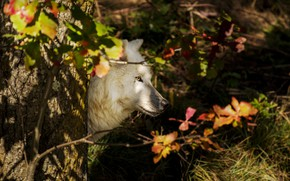 Картинка лес, профиль, арктический волк