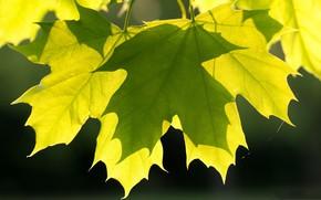 Картинка листья, макро, клен