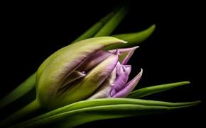 Картинка макро, тюльпан, бутон