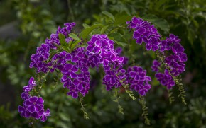 Картинка фиолетовый, тропики, дуранта