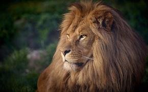 Картинка хищник, лев, царь, грива