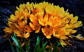 Картинка Весна, Букет, Крокусы