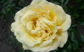 Картинка роза, Цветы, Желтая