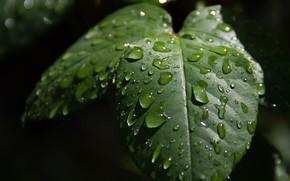 Картинка Макро, Капли, Macro, Drops, Зелёные листья, Green leaves