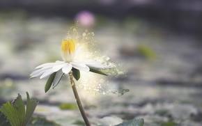 Картинка цветок, листья, вода, природа, цветение, водяная лилия
