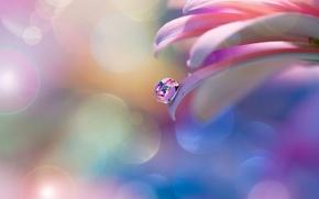 Картинка цветок, нежность, капля, лепестки