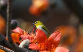 Обои тропики, хлопковое дерево, былый глаз, Hon Cheong, птичка, белоглазка, ветка, цветы