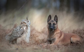 Картинка осень, лес, животные, трава, природа, фон, сова, птица, собака, дружба, парочка, филин, бельгийская овчарка