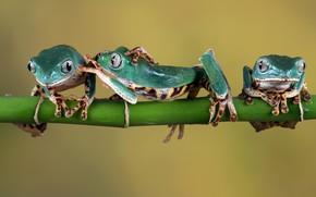 Картинка веточка, лапки, зеленые, лягушки