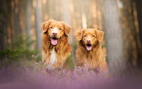 Обои лес, собаки, пара, боке, две собаки, вереск, Новошотландский ретривер