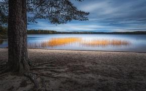 Картинка озеро, дерево, камыш
