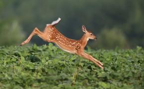 Картинка прыжок, оленёнок, Белохвостый олень