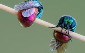Картинка насекомое, парочка, осы-блестянки