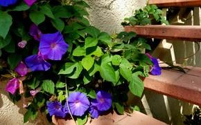Картинка цветы, лестница, ипомея, втюнок