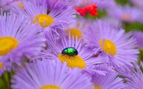 Картинка Макро, Жук, Flowers, Macro, Сиреневые цветы, Астры, Purple Flowers, Asters