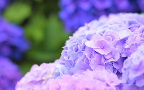 Картинка лето, куст, цветение, Гортензия