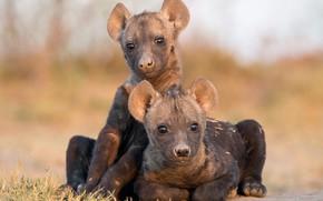 Картинка природа, фон, Hyena Cubs