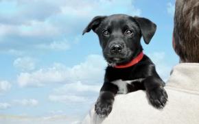 Картинка взгляд, облака, собака, мордочка, щенок, на плече, Лабрадор-ретривер