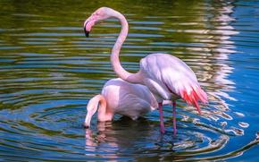 Картинка вода, свет, птицы, природа, озеро, пруд, спокойствие, две, рябь, пара, фламинго, водоем, красивые, голубой фон, …