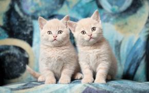 Обои котята, дуэт, британцы, порода