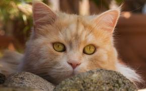 Обои кот, рыжий кот, котэ, мордочка, взгляд