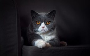 Обои фон, взгляд, кошка