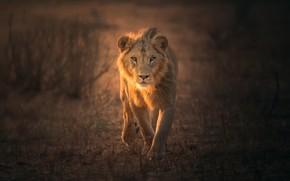 Обои лев, зверь, природа