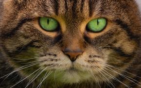 Картинка взгляд, портрет, мордочка, зелёные глаза, котэ, котофеич