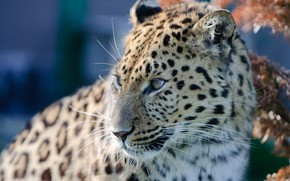 Обои портрет, леопард, хищник, дикая кошка, Амурский леопард