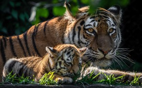 Обои тигры, тигрёнок, котёнок, детёныш