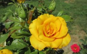 Картинка лето, роза, жёлтая