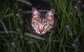 Картинка трава, кот, взгляд, морда, бенгальский кот