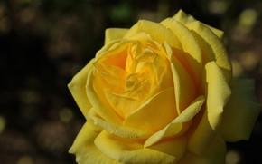 Картинка капли, макро, роза, лепестки, бутон, жёлтая роза