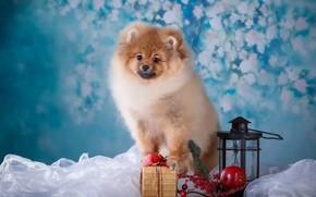 Картинка подарок, яблоко, собака, фонарик, щенок, ветка ягод