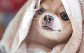 Картинка собака, полотенце, мордашка, чихуахуа, пёсик, собачонка