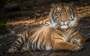 Картинка тигр, сила, хищник