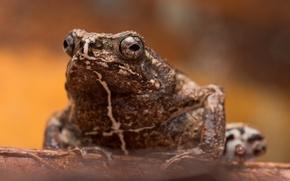 Обои природа, фон, жаба
