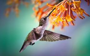 Картинка цветок, тропики, нектар, колибри, полёт, птичка