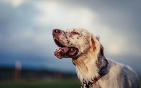 Картинка морда, собака, боке, Английский сеттер
